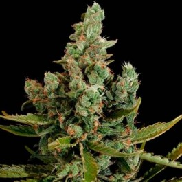 CHEESE - Samsara Seeds - Dinafem