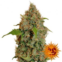 CHRONIC THUNDER - Samsara Seeds - Barney's Farm