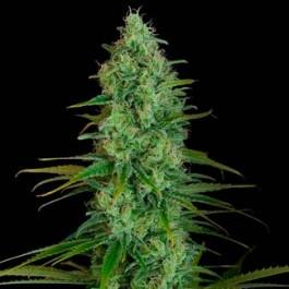 CRITICAL JACK  - Samsara Seeds - Dinafem