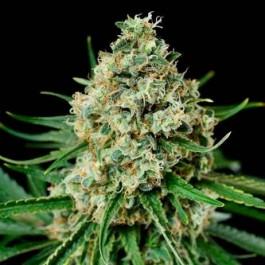 CRITICAL+ 2.0 - Samsara Seeds - Dinafem