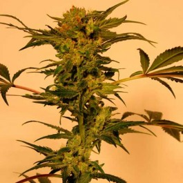 DEVIL KUSH REGULAR - Samsara Seeds - Exotic Seed