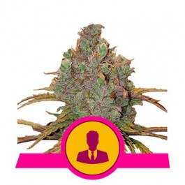 El Patron - Samsara Seeds - Royal Queen Seeds