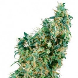 FIRST LADY REGULAR - Samsara Seeds - Sensi Seeds