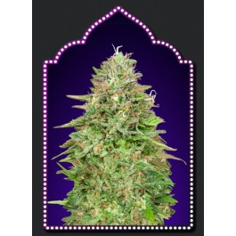 Critical Poison Fast Version - 5 seeds - Samsara Seeds - 00 Seeds