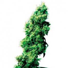FOUR-WAY REGULAR - Samsara Seeds - Sensi Seeds