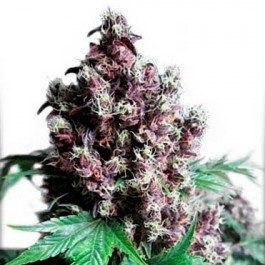 FRISIAN DUCK - Samsara Seeds - Dutch Passion