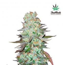 G14 - Samsara Seeds - FastBuds
