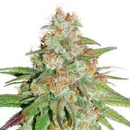 Glueberry OG - Samsara Seeds - Dutch Passion