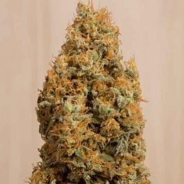 Green Crack CBD - Samsara Seeds - Humboldt Seeds