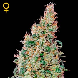 Green-O-Matic  - Samsara Seeds - GreenHouse