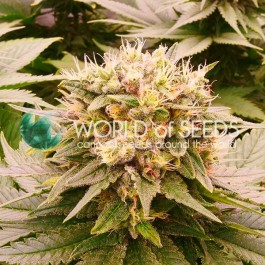 Harlequeen THC FREE - Samsara Seeds - World of Seeds