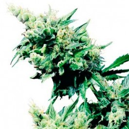 HASH PLANT REGULAR - Samsara Seeds - Sensi Seeds
