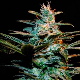 Ice Cool - Samsara Seeds - Sweet Seeds