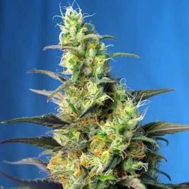 Ice Cool CBD - Samsara Seeds - Sweet Seeds