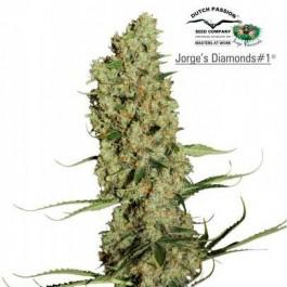 JORGE'S DIAMONDS #1 - Samsara Seeds - Dutch Passion