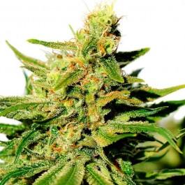 BCN Diesel CBD - Samsara Seeds - Kannabia
