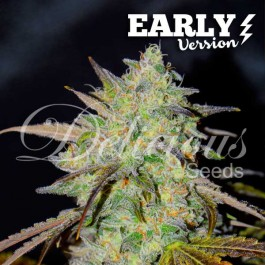 Marmalate Early Version - Samsara Seeds - Delicious Seeds