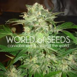 MAZAR KUSH - Samsara Seeds - World of Seeds