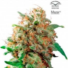 Mazar - Samsara Seeds - Dutch Passion