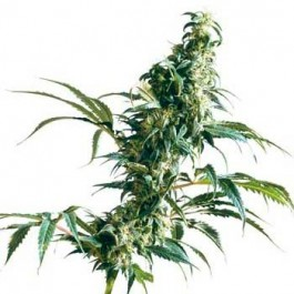 MEXICAN SATIVA REGULAR - Samsara Seeds - Sensi Seeds