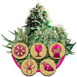 Feminized Mix - Samsara Seeds - Royal Queen Seeds