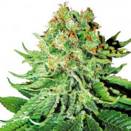 Northern Lights Automatic - Samsara Seeds - Sensi White Label