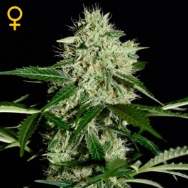 Northern Lights Auto - Samsara Seeds - GreenHouse