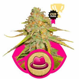 O.G. KUSH - Samsara Seeds - Royal Queen Seeds