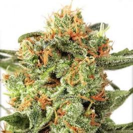 Orange Hill Special - Samsara Seeds - Dutch Passion