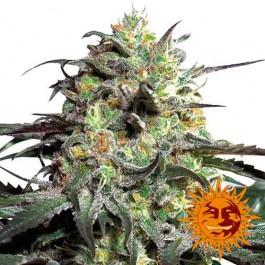 PEYOTE COOKIES - Samsara Seeds - Barney's Farm