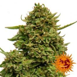 PINEAPPLE CHUNK - Samsara Seeds - Barney's Farm
