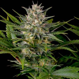 PINEAPPLE SKUNK REGULAR - Samsara Seeds - Humboldt Seeds