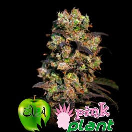 PINK PLANT - Samsara Seeds - Eva Seeds
