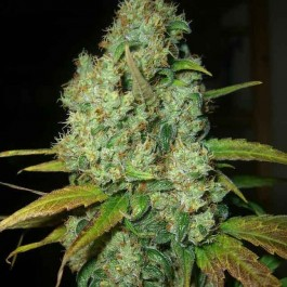 POWER PLANT REG - Samsara Seeds - Dutch Passion
