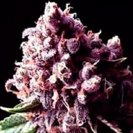 Purple Pinecone - 5 seeds - Samsara Seeds - Sagarmatha
