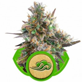 ROYAL BLUEMATIC - Samsara Seeds - Royal Queen Seeds