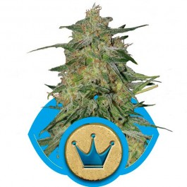 Royal Highness - Samsara Seeds - Royal Queen Seeds