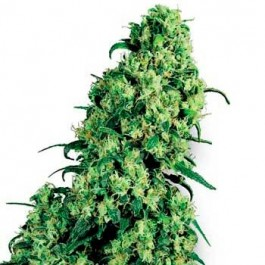 SKUNK #1 10 seeds REGULAR - Samsara Seeds - Sensi Seeds