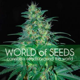 South African Kwazulu - Samsara Seeds - World of Seeds