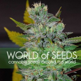 Space - Samsara Seeds - World of Seeds