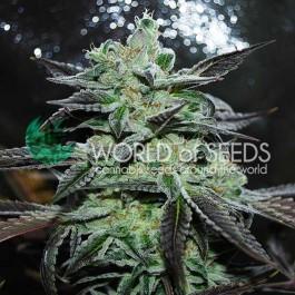 Strawberry Blue - Samsara Seeds - World of Seeds