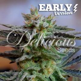 SUGAR BLACK ROSE EARLY VERSION - Samsara Seeds - Delicious Seeds