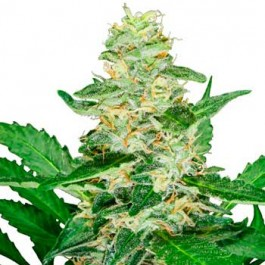 Super Skunk Automatic - Samsara Seeds - Sensi Seeds