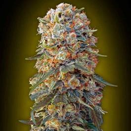 Sweet Critical - 5 seeds - Samsara Seeds - 00 Seeds