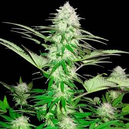 Sweet Harlem Diesel - 3 seeds - Samsara Seeds - Sumo Seeds