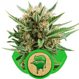 Sweet Skunk Automatic - Samsara Seeds - Royal Queen Seeds