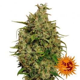 SWEET TOOTH - Samsara Seeds - Barney's Farm