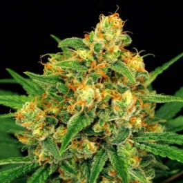 TANGERINE KUSH - Samsara Seeds - Exotic Seed