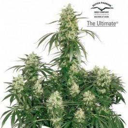 THE ULTIMATE - Samsara Seeds - Dutch Passion