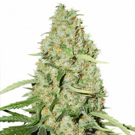Think Fast - Samsara Seeds - Dutch Passion